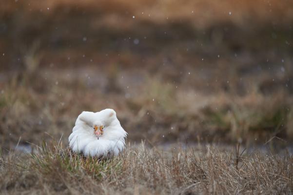 Combattant varié blanc sous la neige du mois de mai, Varanger Norvège