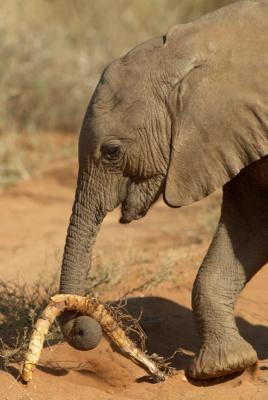Eléphanteau jouant avec une racine, Samburu Kenya