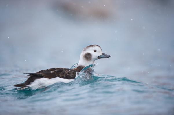 Harelde boréal femelle nageant dans les eaux agités de la mer de barents, Varanger Norvège