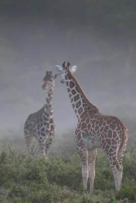 Deux girafes se reflètent comme dans un miroir dans la brume du lac Nakuru, Kenya
