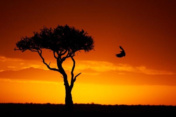 Vautour africain atterrissant dans le ciel flamboyant d'un coucher de soleil Africain, Massaï Mara Kenya