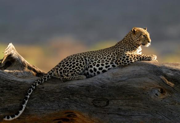 Léopard couché sur un tronc d'arbre en contre jour, Samburu Kenya