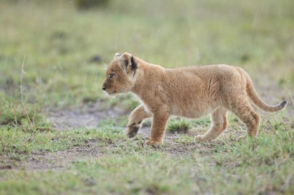 Lionceau marchant sous la pluie Kenya