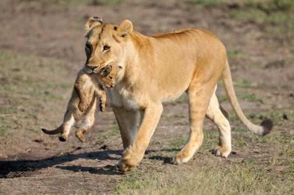 Lionne déplaçant son lionceau dans la gueule, Kenya
