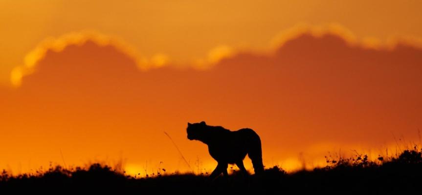 Ombre chinoise d'un guépard dans le ciel flamboyant d'un coucher de soleil, Kenya.