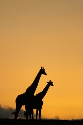 Ombres chinoises de girafes au lever du soleil, Massai mara kenya