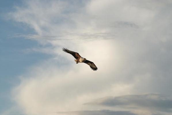 Pygargue Vocifère en vol dans le ciel orageux d'une fin de journée du lac Baringo, Kenya