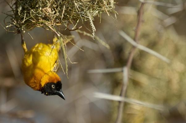 Tisserin accorché la tête en bas à son nid, lac Baringo Kenya