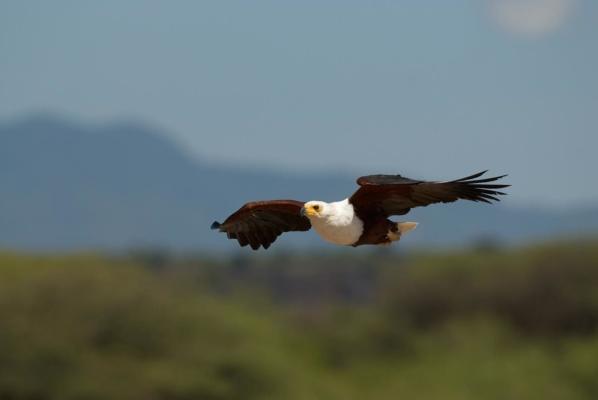 Pygargue Vocifère en vol d'approche pour repérer les poissons dans l'eau, lac Baringo Kenya