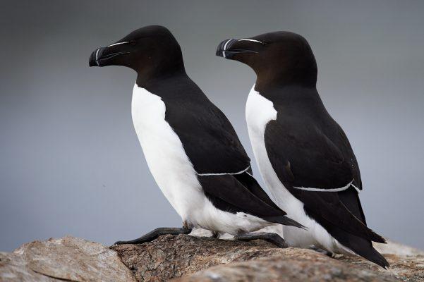 Un couple de Pingouin Torda sur les rochers, Varnager Norvège