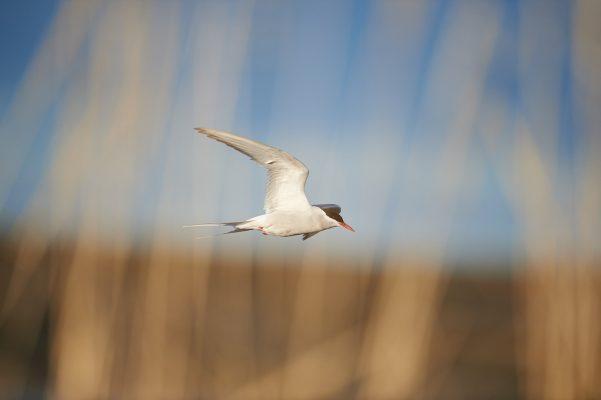 sterne arctique volant derrière un rideau formé par des graminées varanger norvège